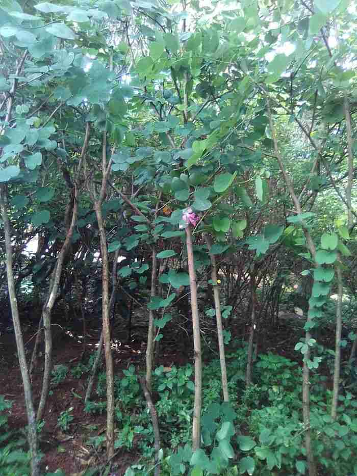 Jual pohon kupu kupu 082312784749