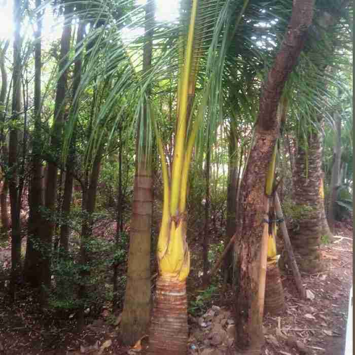 Jual pohon kelapa gading 082312784749