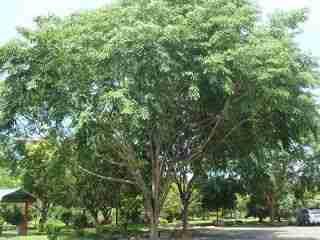 Jual pohon angsana 082312784749