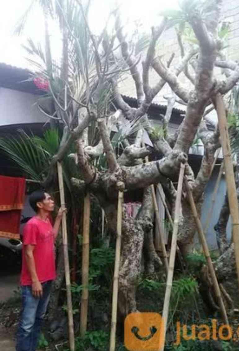 Jual pohon kamboja bali