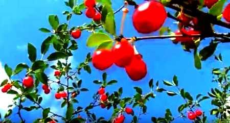 вишня красная