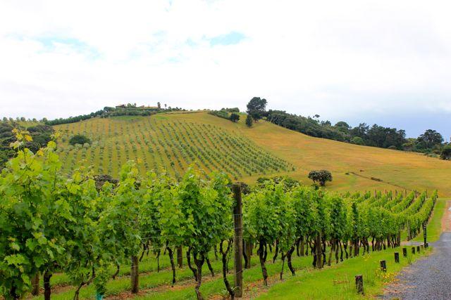 वाइकेके द्वीप, न्यूजीलैंड पर वाइनयार्ड