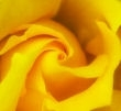 rosa-gialla.jpg