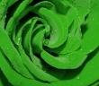 rosa-verde.jpg