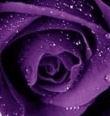 rosa-viola.jpg