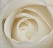 rosa-bianca.jpg