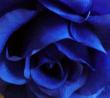 rosa-blu.png