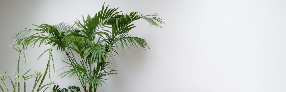 Kentia palm in living room