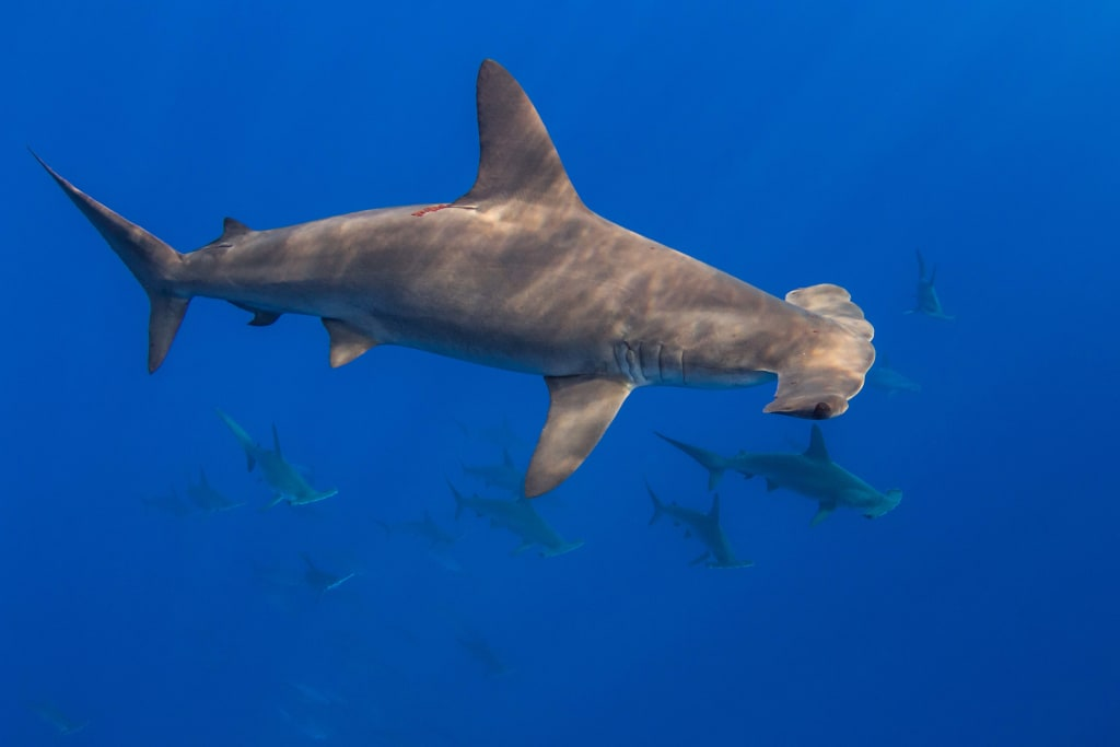 Hammerhead fins in Hong Kong traced mainly to Eastern Pacific