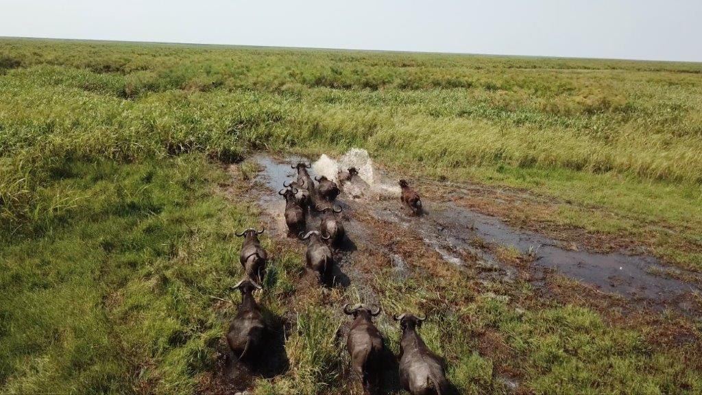 Buffalos Coutada 10