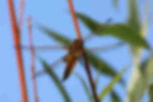 четырёхпятнистая стрекоза
