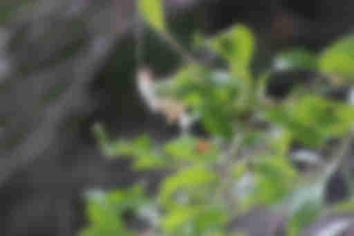 род Salix (семейство Salicaceae)
