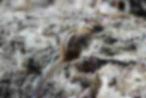 Сибирский бурундук