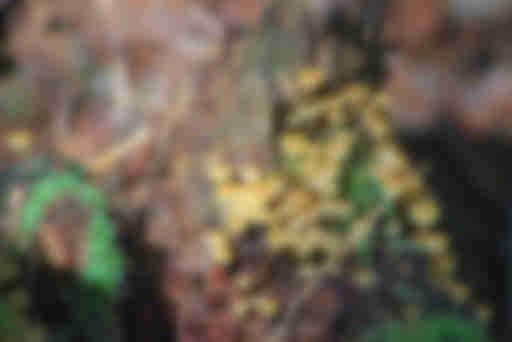 ксеромфалина колокольчатая