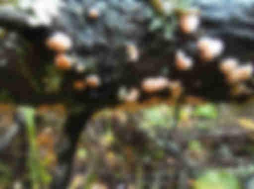 Tremella mycophaga