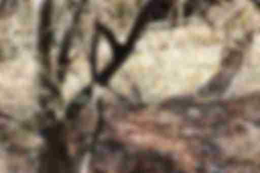 Азиа́тский бурунду́к, или сиби́рский бурунду́ (лат. Tamias sibiricus)