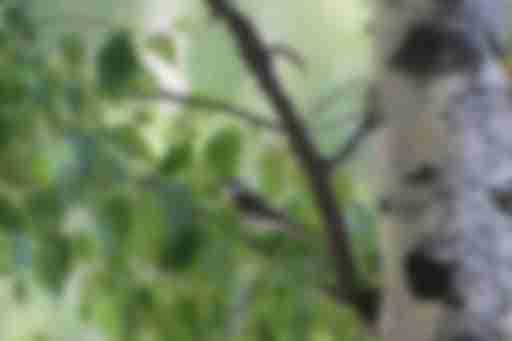 мухоловка- пеструшка