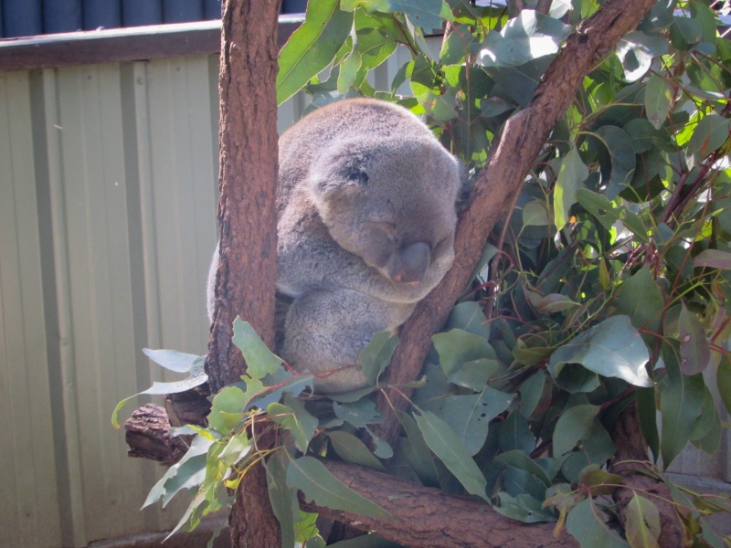 When you're a Koala it's always nap time