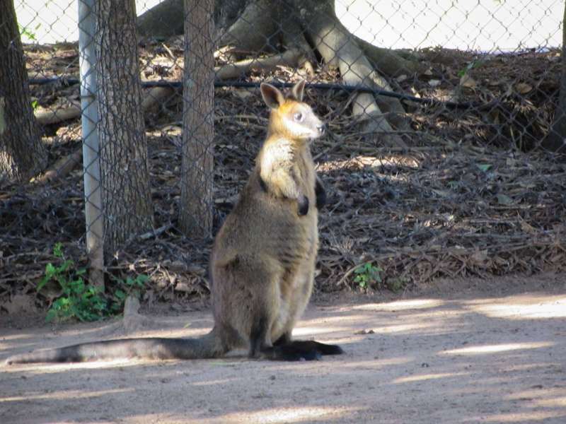 Startled Wallaby