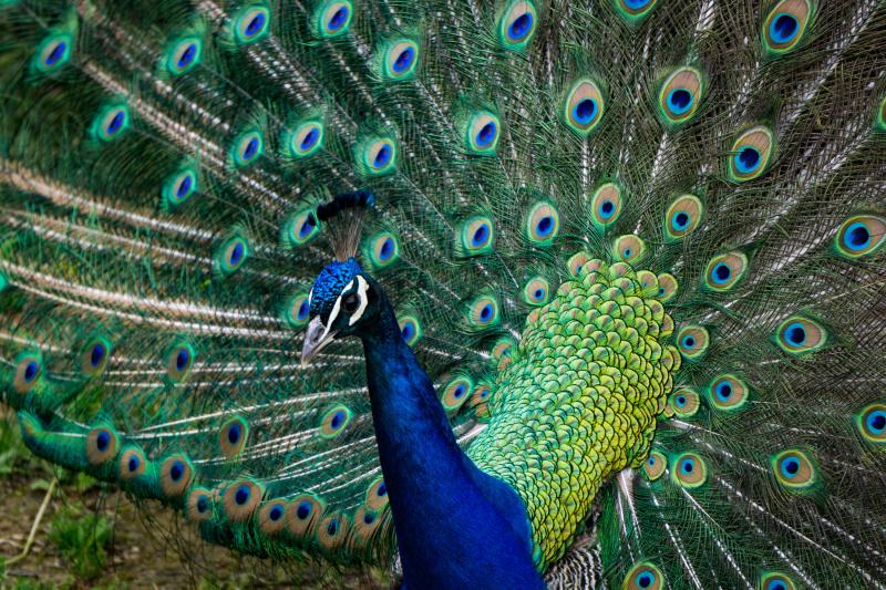 And many peacocks roaming around!