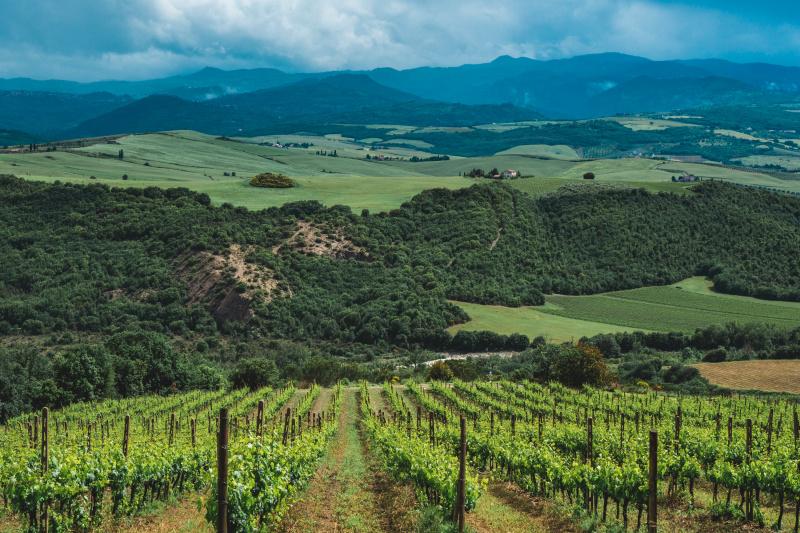 The vines of Ciacci Piccolomini D'Aragona