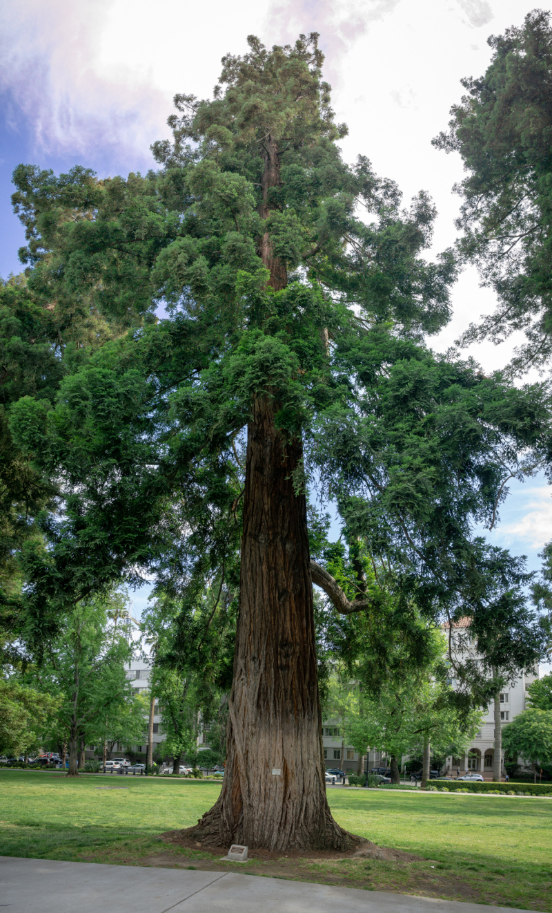 Absolutely massive Redwood