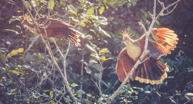 A pair of Hoatzin