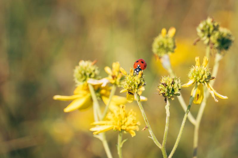 Ladybug in Maryland