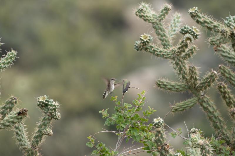 Hummingbirds in the Sandias