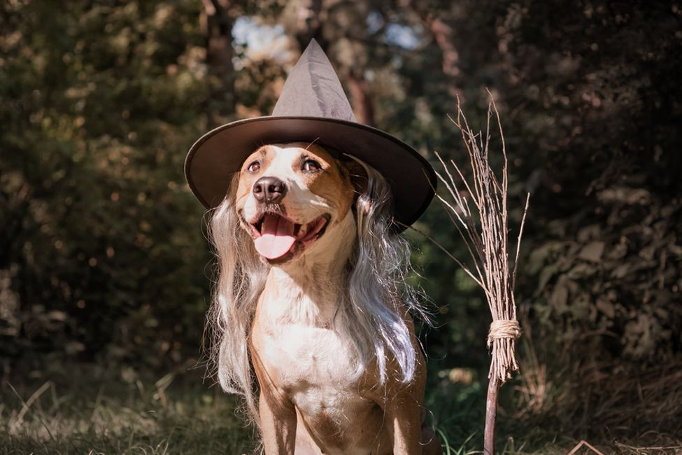 Bigstock Beautiful Dog With Broomstick 254558812