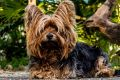 Dog Yorkshire Terrier Small Dog 62666