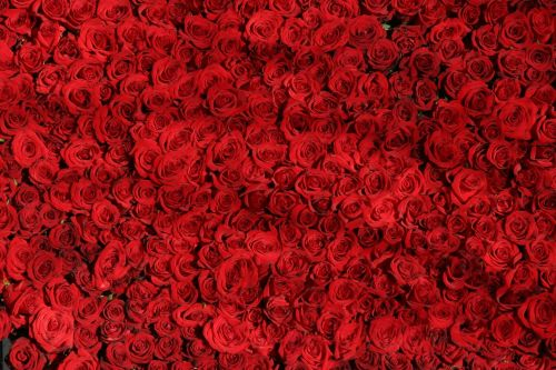 Rose Roses Flowers Red 54320