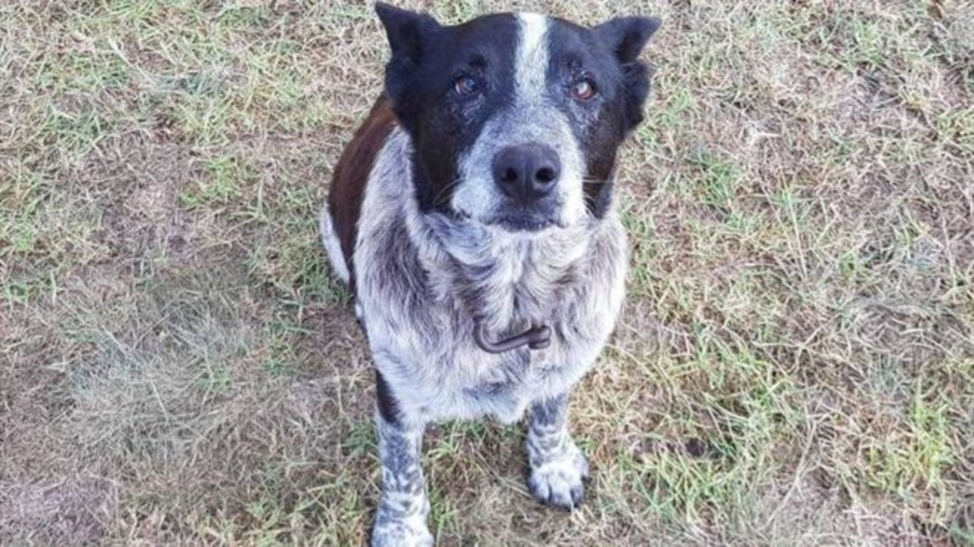 Max the Cattle Dog