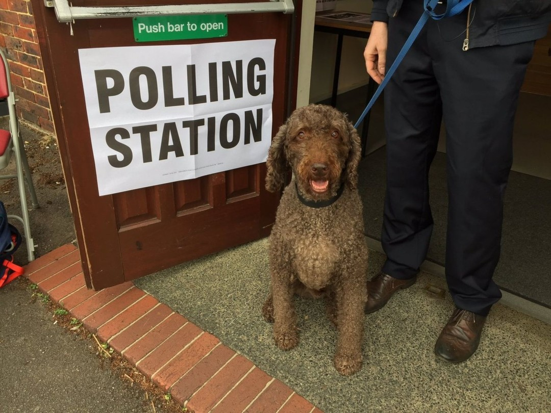 Brown dog at poll station