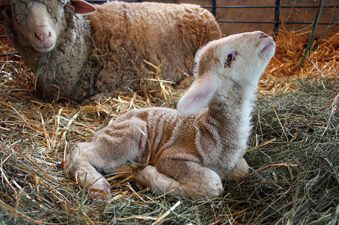 Lamb curled up