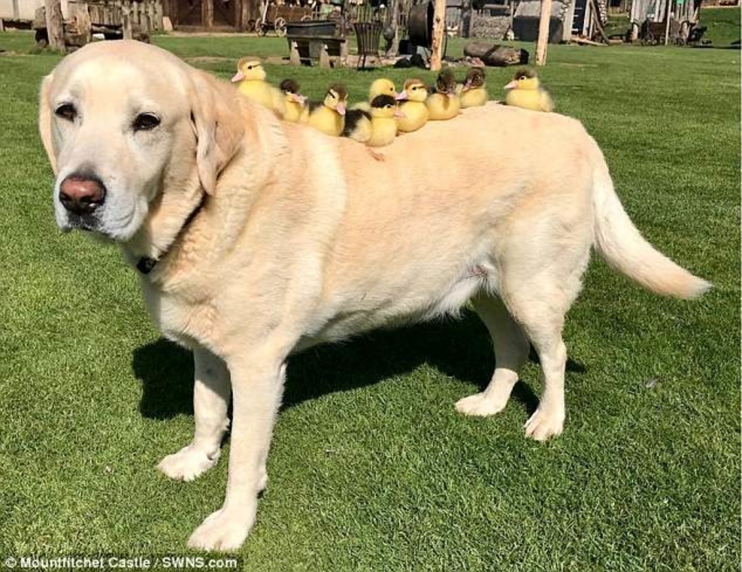 Labrador baby-sitting ducklings