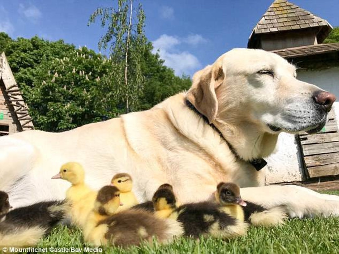 Labrador with ducklings