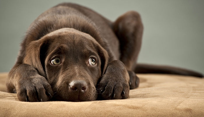 Bigstock Puppy Plugging Its Ears 7361073