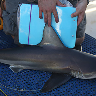 Shark week 2017 tv lineup staten island parent tuesday july 25 at 10pm etptfor decades great white shark numbers were in decline in the waters around new york but now seals are back in new publicscrutiny Gallery