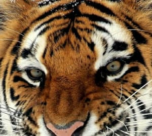 """Do You Have the """"Eye of the Tiger""""?"""