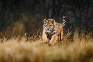 Five Tips To Train Like a Hungry Tiger