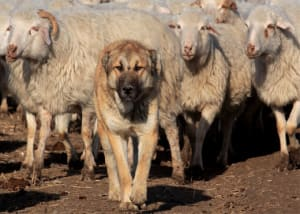 Wolves, Sheep & The Dog