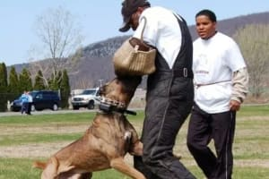 Training in - Bodyguard Cane Corso