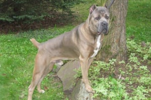 Upcoming Litters in - Bodyguard Cane Corso