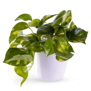 Potted Golden Pothos Ivy