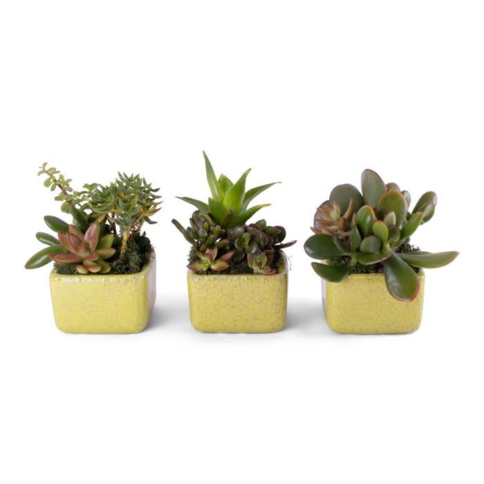 Succulents Trio