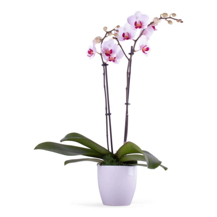Enchanting Orchid Plant