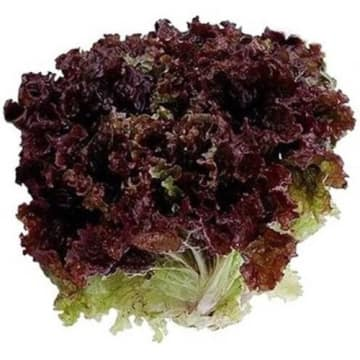 Czerwona sałata liść dębu – Frisco fresh to lekko orzechowa sałąta, doskonała do sałatek.