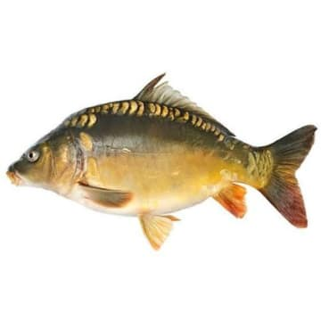 Świeży karp królewski patroszony - Frisco Fish