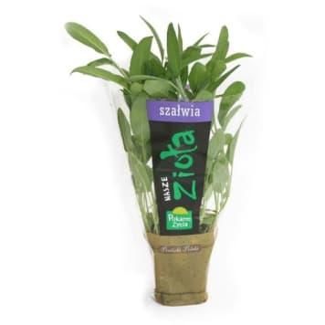 Szałwia, świeże zioła w doniczkach - Pokarm Życia